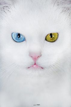 (>'.''.'<) --;  Blue and green eyes...like 'Missy' the white cat in Hiltons:) R.I.P.