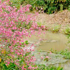 【yaeyama_kaito】さんのInstagramをピンしています。 《沖縄の離島 、八重山諸島 石垣島の写真便りです 石垣島から花便り 満開の寒緋桜 田福農園で綺麗に咲いていました〜 本日も天気には恵まれない けど 最高気温は27度の予報〜 蒸し暑そう〜 ✜ お伝えしたい この美しさ 伝わるといいなぁ〜 お気軽に〜ぜひ!フォローお願いま〜す。 ✜ 八重山の離島ブログも発信中〜 島旅のロケーション参考になれば幸いです。 プロフィールのURLから飛んでいけます〜 ✜ 八重山の風景情報ブログ(blog) http://yaeyamaphoto.com/category/blog/ ✜ 八重山フォトナビ 八重山海斗 石垣島観光同行カメラマン http://yaeyamaphoto.com/ ✜ #田福農園 #沖縄 #離島 #八重山 #石垣島 #桜 #卒業旅行 #japan #okinawa #yaeyama #ishigaki #love #風景 #写真 #絶景 #癒やし #綺麗 #寒緋桜 #旅行  #写真便り #女子旅 #ツアー #沖縄旅行 #写真好きな人と繋がりたい…