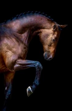 Canturano Z Holsteiner double registered Zangershe Most Beautiful Horses, All The Pretty Horses, Horse Photos, Horse Pictures, Zebras, Beautiful Creatures, Animals Beautiful, Photo Animaliere, Horse Portrait