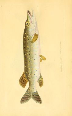 The natural history of British fishes : - Biodiversity Heritage Library