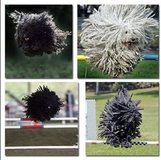"""The Puli - It is an ancient breed, created by Hungarians over 1,000 years ago for use as bear alarms, back when animals had the most ridiculously specific jobs this side of a Flintstones episode. The dreadlocks pattern was mostly bred in for weather resistance, but the American Kennel Club points out that """"thorough drying after bath time is especially important to prevent mildewed cords."""""""