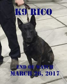 Alaska State Trooper K9 Rico has lost his life. K9 Rico was shot and killed by a suspect on March 26, 2017 in the Mat-Su Valley. K9 Rico began working for the Department in the fall of 2016. He was a three year old Dutch shepherd. Run free K9 RICO - You are a HERO.