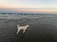 Our youngest rescue Libby enjoys views of the Texas Coast Austin Real Estate, Texas Coast, Polar Bear, United States, House Styles, Dogs, Animals, Animales, Animaux