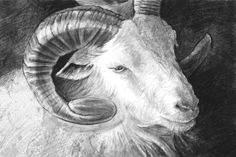 Great goat illustration made with digital tablet, sketch - Every high resolution image and vector for just 50 Cents - try us today with 7 Days Free Downloading @ kozzi.com ! http://www.kozzi.com/stock-photo-24936835-great-goat-illustration-made-with-digital-tablet%2C-sketch.html