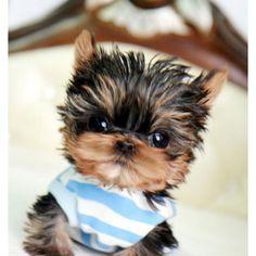 Awww! Reminds me of my dog...cause my dogs a Morkiepooh which is a Yorkie Multise poodle