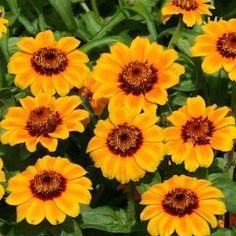 41 best moon garden images on pinterest moon garden flower seeds zinnia haageana soleado orange golden yellow and mahogany flowers annual flower mightylinksfo