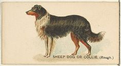 Issued by Goodwin & Company. Sheep Dog or Collie (Rough), from the Dogs of the World series for Old Judge Cigarettes, 1890. The Metropolitan Museum of Art, New York. The Jefferson R. Burdick Collection, Gift of Jefferson R. Burdick (63.350.214.163.16) #dogs