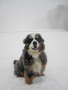 Bernese in the snow, Love it