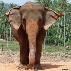 De Aziatische olifanten is een bedreigde diersoort. Er lopen er nog maar heel weinig van rond, zeker in het wild. Een extra reden om zuinig te zijn op deze mooie dieren!