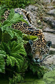 Leopard                                                                                                                                                                                 Más