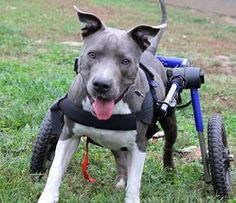 Meet Boomer, an adoptable Pit Bull Terrier looking for a forever home. If you're looking for a new pet to adopt or want information on how to get involved with adoptable pets, Petfinder.com is a great resource.