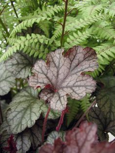 Athyrium x 'Ghost' & Heuchera by Behhnke Nurseries, Inc, via Flickr Athyrium x 'Ghost' & Heuchera  Hybrid fern 'Ghost' (Japanese Painted x native Lady Fern) pairs well with a Heuchera that picks up the deep color of the fern stems.