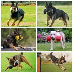 Dressage, Trainers, Animals, Plott Hound, Red, Tennis, Animales, Animaux, Animal