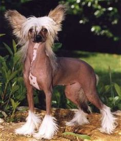 Dog of the Weekend: Chinese Crested