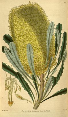 Botanical Print By Sir William Jackson Hooker Drawing by Quint Lox