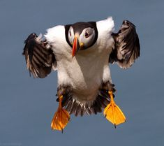 Puffin by Ian Gethings