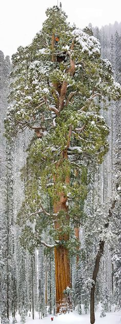 President, located in Sequoia National Park in California, stands 241 ft (73m) tall and has a ground circumference of 93 ft (28m). It is the third largest giant sequoia in the world (second if you count its branches in addition to its trunk). (Image credits: Michael Nichols)