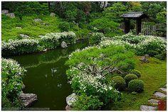 兩足院の半夏生 | Saururus chinensis in full bloom in Ryosoku-in tem… | Flickr
