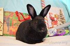 Bunny will supervise the wrapping of Christmas presents - December 24, 2016