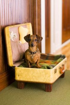 What an awesome idea! Look how proud this Dachshund is of her new DIY dog bed made from a vintage suitcase Diy Pet, Old Suitcases, Cat Run, Vintage Luggage, Dachshund Love, Daschund, Yorkie, Pet Beds, Doggie Beds