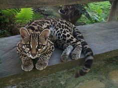 Margay, I want one