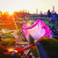 Sunset and roses... . #discoverbrisbane #shareyoursunset #roses #cityscape #horizons #iPhoneography