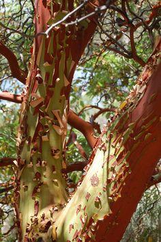Eucalypt: interesting tree bark