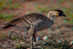 "3D image of endemic Hawaiian goose or "" nene "" Nesochen sanvicensis ( endangered ) Big Island of Hawaii"