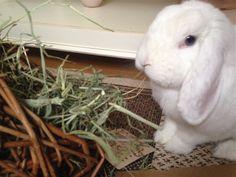 Mmmmmmm - ny høyhekk :) Jeg koser meg!!! Fresh hay - me having a smashing time!!! Duncan2014/IJ