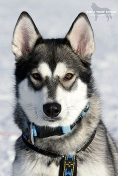 husky. #dog #husky #animal