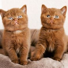 From Our cinnamon cuties Boaz and Ginger [source… Baby Rabbits For Sale, Animals And Pets, Funny Animals, British Shorthair, Cute Little Animals, Cat Day, Cats Of Instagram, Cat Lovers, Dog Cat