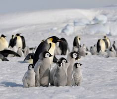 Emperor penguin by laogephoto.deviantart.com on @deviantART
