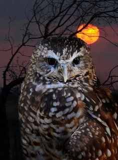 Sunset Owl | Flickr - Photo Sharing!
