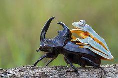 Cowboy-frog-08.jpg