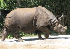 Indian Rhino 001 - Odd-toed ungulate - Wikipedia, the free encyclopedia