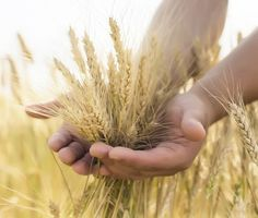 Fields of gold ☼ Fields Of Gold, Ivar Ragnarsson, Foto Online, Young Farmers, Field Of Dreams, Wheat Fields, Down On The Farm, Foto Art, Harvest Time