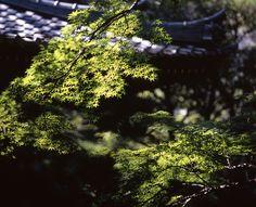 Komorebi  / Maple Leaves by mrhayata, via Flickr