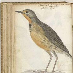 Kaapse vogel, Jan Brandes, 1786 - Nature-Collected Works of Anne - All Rijksstudio's - Rijksstudio - Rijksmuseum
