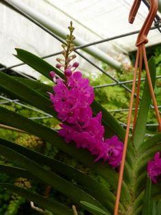 Orchideeen-shop.nl - Rhynchocentrum Lilac Blossom