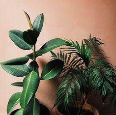 Plant-o-Pedia: Rubber Tree