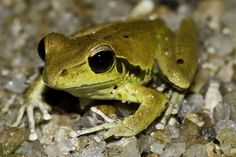 Stoney Creek Frog (Litoria jungguy), spotted by Scott Harte in Wooroonooran National Park, Queensland, Australia