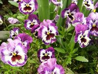 How to Grow and Care for Pansy Plants from seeds