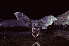 Bat Basics | Bats About Our Town | Olympia, WA