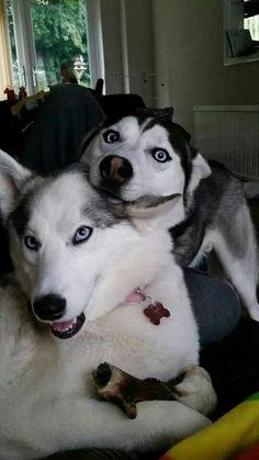 Crazy, beautiful Huskies!