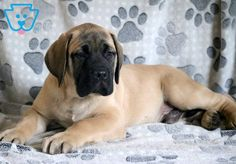 "The breed is commonly referred to as the ""Mastiff"". Also known as the English Mastiff this giant dog breed gets known for its splendid, good natu Boxer Mix Puppies, Mastiff Puppies For Sale, English Mastiff Puppies, Mastiff Dogs, Cute Puppies, Cute Dogs, Dogs And Puppies, Doggies, Siberian Mastiff"