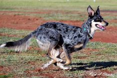 Things You Didnt Know About The Koolie Puppytoob Com - Things You Didnt Know About The Koolie Nat Berman Months Ago Prev Article Next Article The Koolie Is An Excellent Example Of The Tough And Reliable Working Dogs That Have Been Produce Australian Shepherds, German Shepherds, Herding Dogs, Purebred Dogs, Blue Merle, Australian Dog Breeds, Koolie Dog, Massive Dogs, Scruffy Dogs