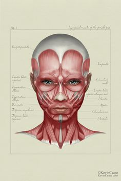 Female anatomy: face by Kevin Cease {woman face muscles}