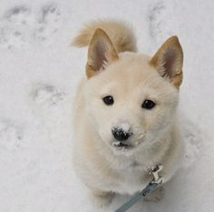 Shiba inu <3 cutest thing I have ever seen