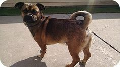 Hazel Park, MI - Pug/Beagle Mix. Meet Hunter, a dog for adoption. http://www.adoptapet.com/pet/11734026-hazel-park-michigan-pug-mix