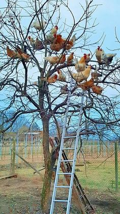 Chicken Tree ;)) We have one too. #ChickenHouses Chickens And Roosters, Pet Chickens, Raising Chickens, Chickens Backyard, Farm Animals, Animals And Pets, Funny Animals, Cute Animals, Beautiful Chickens